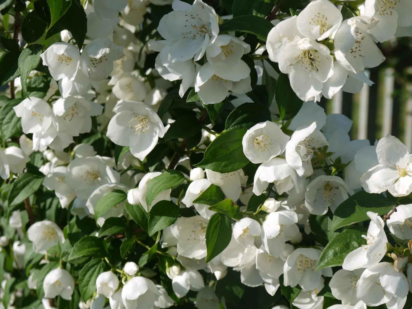 Жасмин садовый (чубушник), масло жасмина