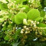 Настои цветков липы, от кашля, потогоное средство