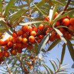 Облепиха крушиновидная масло, плоды облепихи и противопоказания