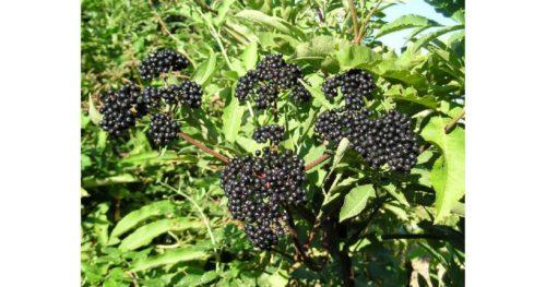 Бузина черная, ягоды бузины,цветки бузины