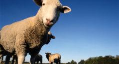 Состав, полезные свойства и вред баранины