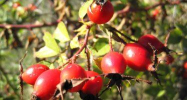 Шиповник обыкновенный - плоды, отвары и настои