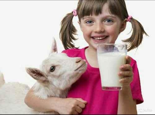 Состав и полезные свойства козьего молока