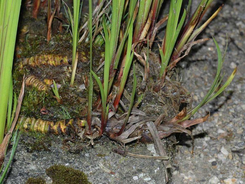 аир болотный, корень аира