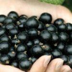 Польза черной смородины для здоровья