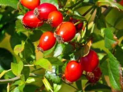 Шиповник обыкновенный — плоды, отвары и настои