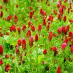 Красный клевер: лечебные свойства при климаксе и менопаузе