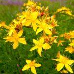 Трава Зверобой: лечебные полезные свойства, применение и противопоказания.